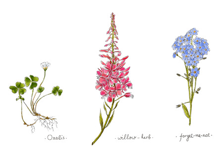 Wild plants and flowers hand drawn in color. Willow, oxalis and forget-me-not. Herbal vector illustration