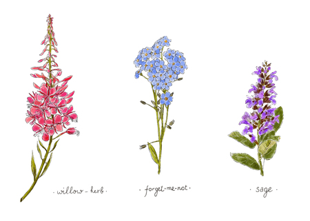 Wild plants and flowers hand drawn in color. Willow, forget-me-not and sage. Herbal vector illustration