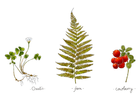 Wild plants hand drawn in color. Oxalis, fern and cowberry. Herbal vector illustration Çizim