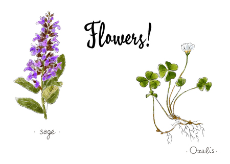 Wild plants and flowers hand drawn in color. Oxalis and sage. Herbal vector illustration Stock Vector - 94745777