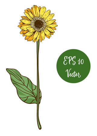 Single yellow daisy flower vector illustration, beautiful flower on long stem isolated on white background