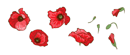 Red poppies isolated on white background. Buds and flowers or Floral vector.