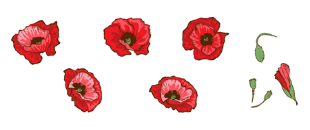 Red poppies isolated on white background. Buds and flowers Floral vector. Illustration