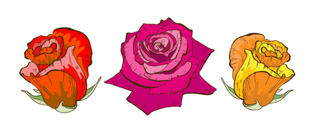 Colorful rose flowers isolated on white background Floral vector.