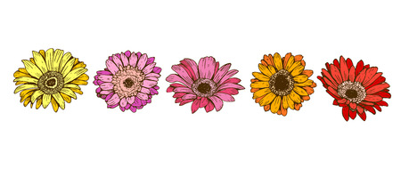 Colorful daisy flowers isolated on white background Floral vector. Illustration