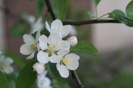 Apple tree blossom with green leaves. Beautiful spring flowers in the garden