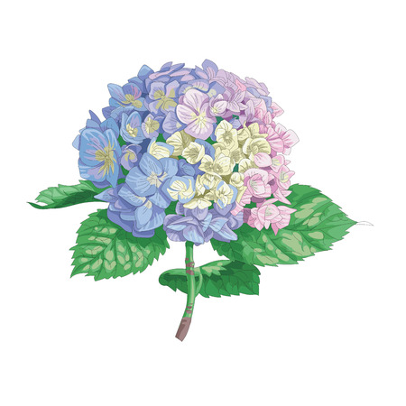 Beautiful gentle hydrangea flower isolated on white background. A large inflorescence on a stem with green leaves, botanical vector illustration.