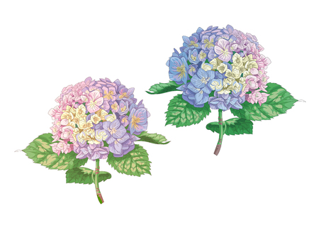 Beautiful gentle hydrangea flowers isolated on white background. A large inflorescence on a stem with green leaves. Botanical vector Illustration. Vectores