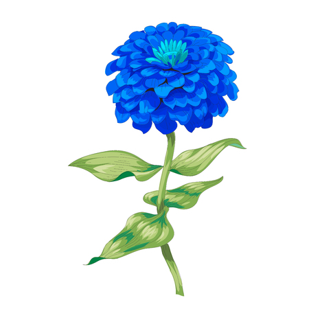Beautiful blue flower zinnia isolated on white background. A large bud and inflorescence on a stem with green leaves. Botanical vector Illustration