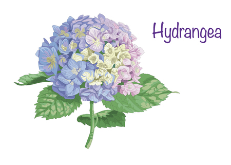 Vector highly detailed realistic illustration of hydrangea flower isolated on white. Good for wedding floral design, greeting cards Иллюстрация