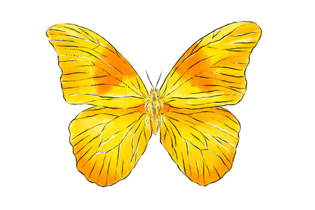 Beautiful yellow butterfly isolated on white background. Realistic hand drawing illustration. Insect collection