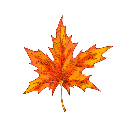 Orange maple leaf isolated on a white background. Autumn element for your design.
