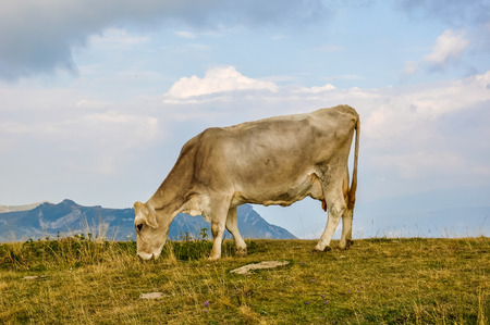Cow on a hilltop in Italy