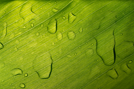 Abstract Wet Green Surface Leaf with drop Rain Background low key