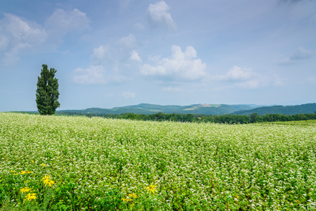 biei: green field in blue sky with big tree Biei, hokkaido