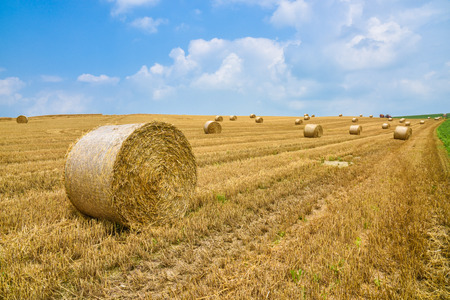 harvest field: wheat harvesting in summer season