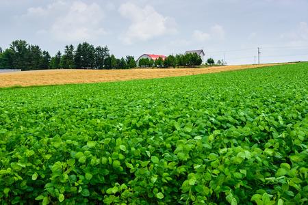 potato tree: potato beside of wheat field Stock Photo