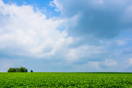 potato tree: potato field in blue sky