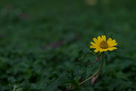 yard stick: Yellow flower among green grass Stock Photo