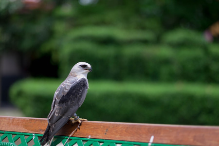 shouldered: younger hawk standing on wood in the nature
