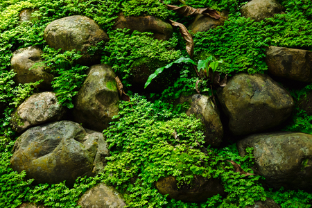 many stone cover with green moss in morning. image for nature,forest,plant concept