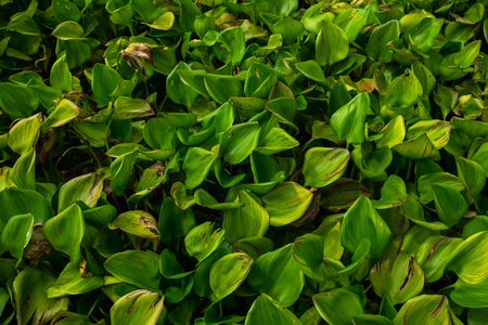 green water hyacinth float on river in morning time. this image for plant, scenery, texture, abstract, nature concept