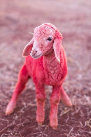 Red lamb in farm