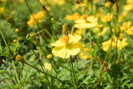 abeja reina: Flor amarilla en el jard�n.