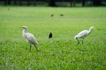 ardea: egret bird. Stock Photo