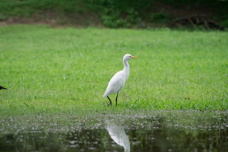 egret: egret bird. Stock Photo