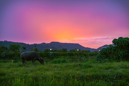 Silhouette  thai buffalo during sunset time