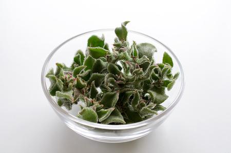 ice plant: Ice plant