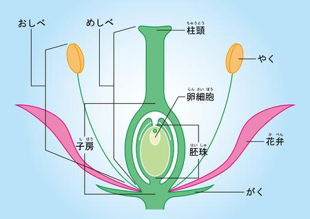 Um guia ilustrado para angiospermas. Ilustração do diagrama de seção transversal. Ilustración de vector