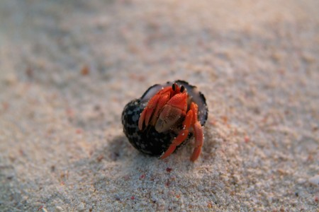Hermit Crab on a beach in Andaman Sea of Thailand photo
