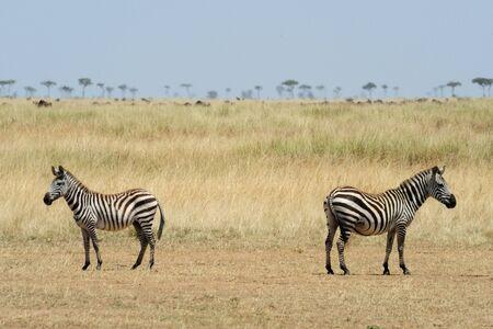 two zebras, masai mara national park, kenya photo