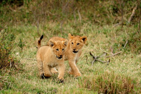 Young lion cub running