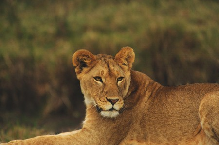 Lioness in the wild. Africa. Kenya. Masai Mara photo