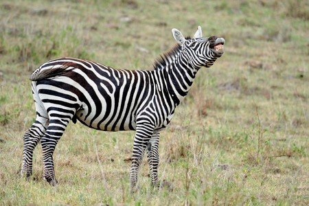 Zebra at masai mara, kanya photo