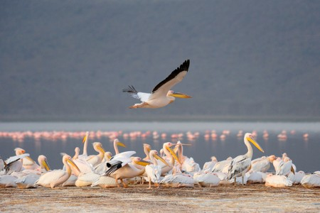 Great white pelican (Pelecanus onocrotalus). Lake Nakuru. Kenya photo