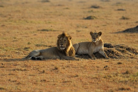 Lion and lioness in South Africa