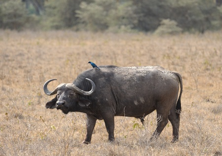 southern africa: African Buffalo in Kruger Park, South Africa