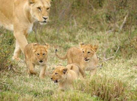 Female lion and baby, MASAI MARA