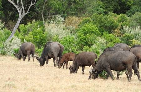 African Buffalo in Kruger Park, South Africa Stock Photo - 8285959