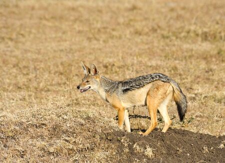 Alert Black-backed Jackal (Canis mesomelas), Kalahari, South Africa