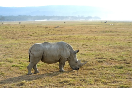 Single African rhinoceros