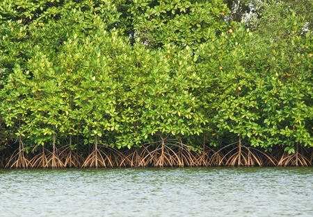 marsh plant: mangrove ,thailand Stock Photo
