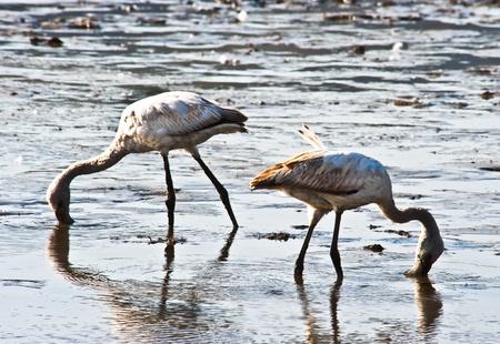 Flamingos at Nakuru Lake, Kenya photo