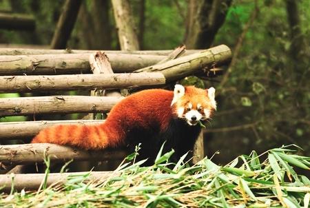 Curious looking red panda bear photo