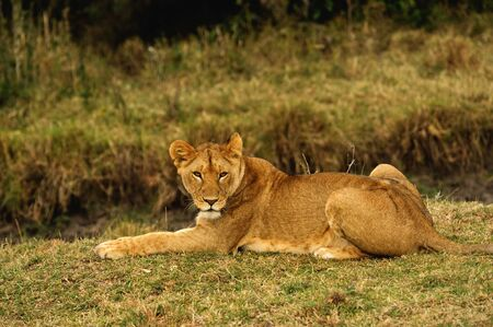 Lioness in the wild. Africa. Kenya. Masai Mara
