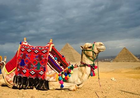 pyramide egypte: D�cor� camel en face de la pyramide de Gizeh, le Caire, �gypte